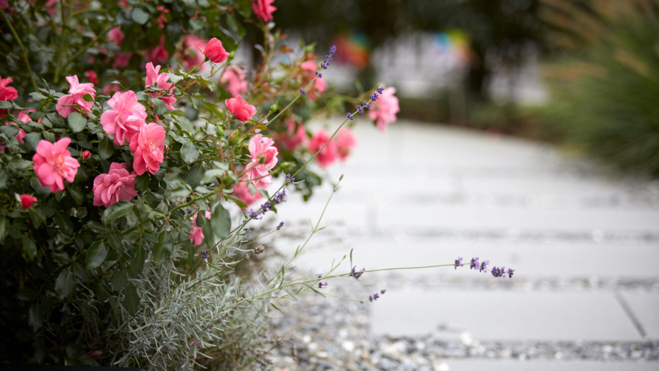 hauser-design-staudenbeet-rosen-und-lavendel