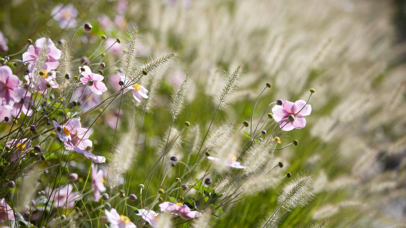 hauser-design-referenz-staudenbeete-rosa-blumen